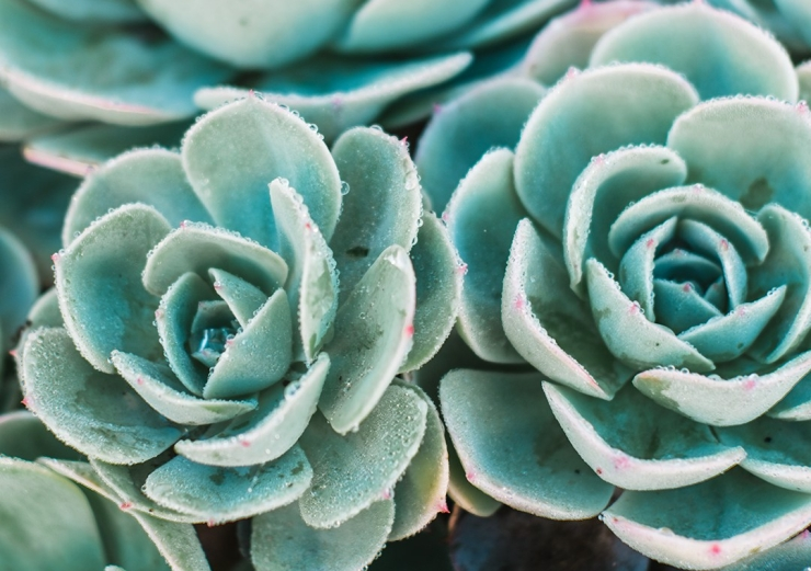 succulents with dew